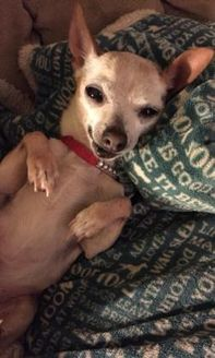 Chihuahua Mix Dog for adoption in New Freedom, Pennsylvania - Lourdes