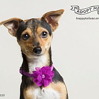 Adopt A Pet :: Corinne - Chandler, AZ