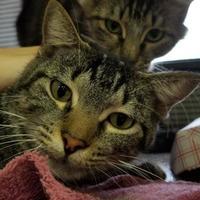 Adopt A Pet :: Sans - Spartanburg, SC