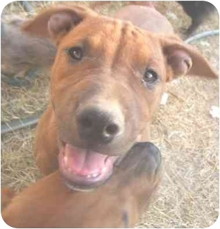 American Pit Bull Terrier Mix Dog for adoption in Mesa, Arizona - Mickey