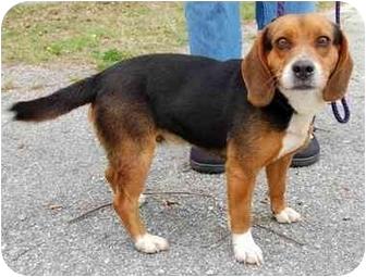 Beagle Dog for adoption in Inman, South Carolina - Curby