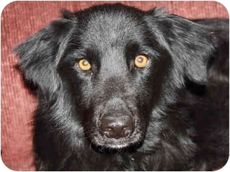 Flat-Coated Retriever/Border Collie Mix Dog for adoption in kennebunkport, Maine - Rex - in Maine