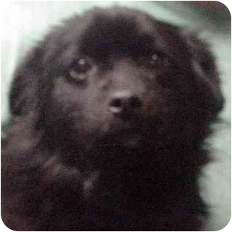 Shih Tzu/Pekingese Mix Dog for adoption in Manassas, Virginia - Happy