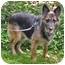Photo 2 - German Shepherd Dog Dog for adoption in Wayland, Massachusetts - Izzy