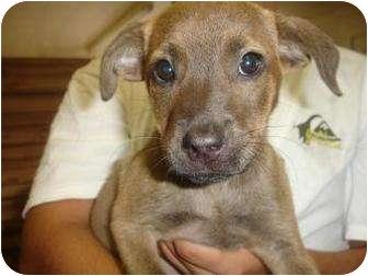 Boxer/Labrador Retriever Mix Puppy for adoption in Old Bridge, New Jersey - Beacon