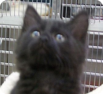 Domestic Longhair Kitten for adoption in Grants Pass, Oregon - Tennessee