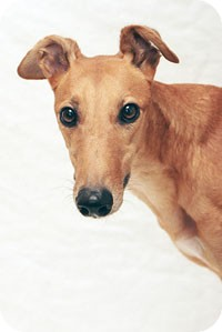 Greyhound Dog for adoption in West Palm Beach, Florida - Chex