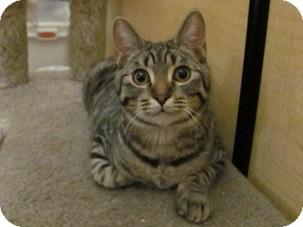 Domestic Shorthair Kitten for adoption in Diamond Bar, California - JACOB