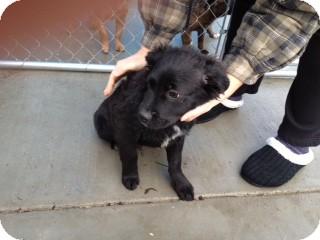 Border Collie Mix Puppy for adoption in Seattle, Washington - Brady