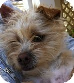 Schnauzer (Miniature)/Cairn Terrier Mix Dog for adoption in Boulder, Colorado - Carson