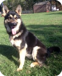 German Shepherd Dog Mix Dog for adoption in Fort Worth, Texas - Abby