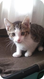 Domestic Shorthair Kitten for adoption in Des Moines, Iowa - Tucker