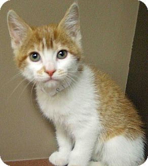 Domestic Shorthair Kitten for adoption in Hinsdale, Illinois - ADOPTED!!!   Dani