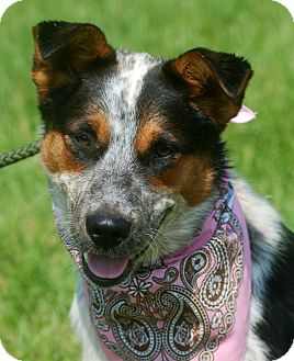 Australian Cattle Dog Mix Puppy for adoption in Delano, Minnesota - Willow