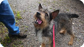 Giant Schnauzer/Corgi Mix Dog for adoption in Sylva, North Carolina - Lewis