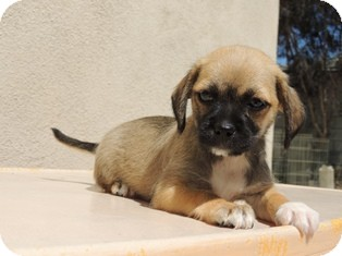 Yorkie, Yorkshire Terrier/Chihuahua Mix Puppy for adoption in Tustin, California - Chanel