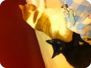 Domestic Shorthair Kitten for adoption in Edmond, Oklahoma - Mr. Congeniality
