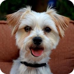 Yorkie, Yorkshire Terrier/Maltese Mix Dog for adoption in Morristown, New Jersey - Toby