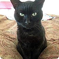 Adopt A Pet :: Mr. Boots - Laguna Woods, CA