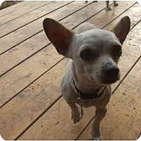 Adopt A Pet :: Harlow - Chimayo, NM