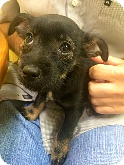Yorkie, Yorkshire Terrier/Chihuahua Mix Puppy for adoption in Boca Raton, Florida - Athena
