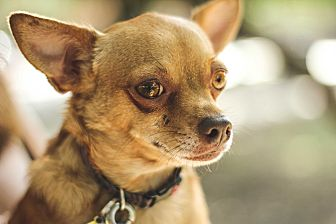 Chihuahua Mix Dog for adoption in Dallas, Texas - Sandy