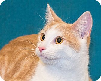 Domestic Shorthair Cat for adoption in Elmwood Park, New Jersey - Jeffrey