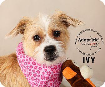 Shih Tzu/Jack Russell Terrier Mix Dog for adoption in Omaha, Nebraska - Ivy