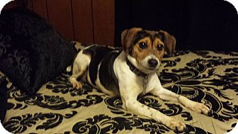 Beagle/Terrier (Unknown Type, Medium) Mix Dog for adoption in Homewood, Alabama - Tracey