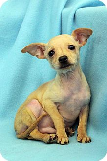 Chihuahua Mix Puppy for adoption in Westminster, Colorado - Max