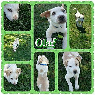 Husky/St. Bernard Mix Puppy for adoption in Rosamond, California - Olaf