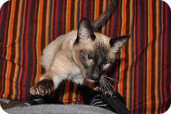 Siamese Cat for adoption in Newark, Delaware - Sebastian