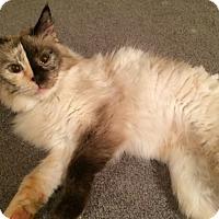 Adopt A Pet :: Pancake - Edmonton, AB