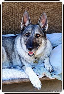German Shepherd Dog Mix Dog for adoption in Phoenix, Arizona - Pepper