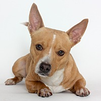 Chihuahua Mix Dog for adoption in Stockton, California - Rex