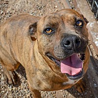 Pit Bull Terrier Mix Dog for adoption in Lubbock, Texas - Nala
