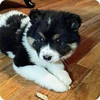 Adopt A Pet :: Ariel - Hagerstown, MD