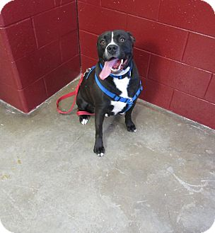 American Pit Bull Terrier Mix Dog for adoption in Cameron, Missouri - Gonzo