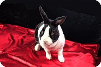 Dutch Mix for adoption in Montclair, California - Trixie