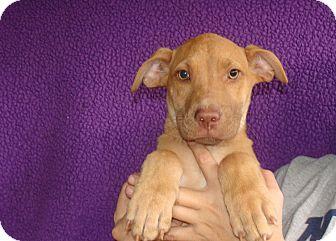 Weimaraner/Staffordshire Bull Terrier Mix Puppy for adoption in Oviedo, Florida - Venus