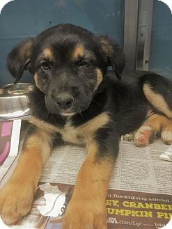 Labrador Retriever/Rottweiler Mix Puppy for adoption in New York, New York - Bernard