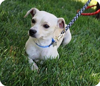 Terrier (Unknown Type, Medium) Mix Dog for adoption in Chico, California - Lilo