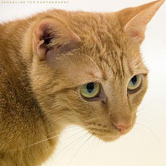 Domestic Shorthair Cat for adoption in Houston, Texas - SAMATHA