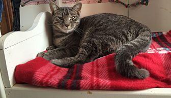 Domestic Shorthair Cat for adoption in Middletown, New York - Hematite