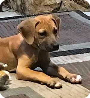 Hound (Unknown Type)/Black Mouth Cur Mix Puppy for adoption in Jacksonville, Florida - Emmylou