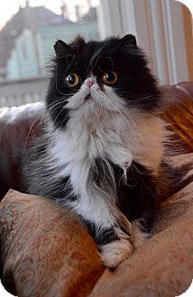 Persian Cat for adoption in Columbus, Ohio - Minnie Mouse
