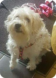 Shih Tzu/Poodle (Standard) Mix Dog for adoption in Freeport, New York - Butter
