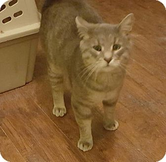 Domestic Shorthair Cat for adoption in Baltimore, Maryland - Catnick