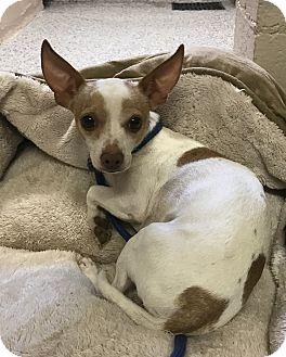 Chihuahua Mix Dog for adoption in Chino Valley, Arizona - Peanut