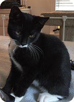 American Shorthair Kitten for adoption in Hazlet, New Jersey - Elizabeth
